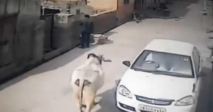 Зборувал на мобилен телефон, а потоа од никаде се појавил бик. Погледнете што се случило на 0:12 секунда!