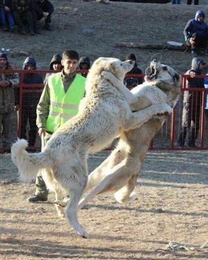 УЖАСНИ ВИДЕА од борби со кучиња во Македонија
