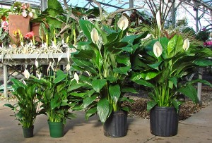 spathiphyllum-'peace-lilies'